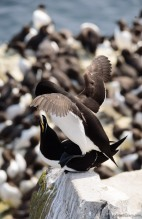Breeding Razorbills