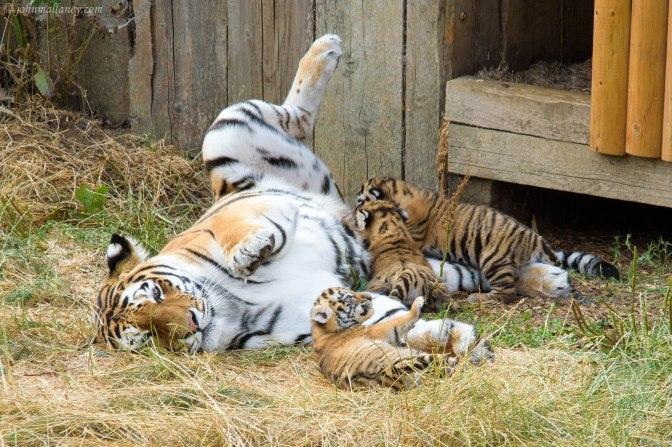 Amur Tiger and cubs