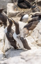 Mating Guillemots