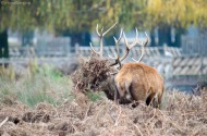 Red Deer Rutting