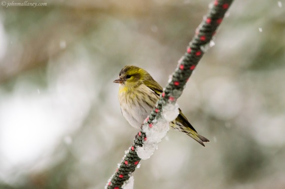 Siskin in the snow - Avemore, Scotland.