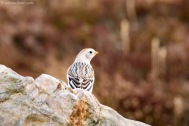Snow Bunting - Cairngorm Mountain.