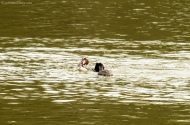 Great Crested Grebes Confrontation!
