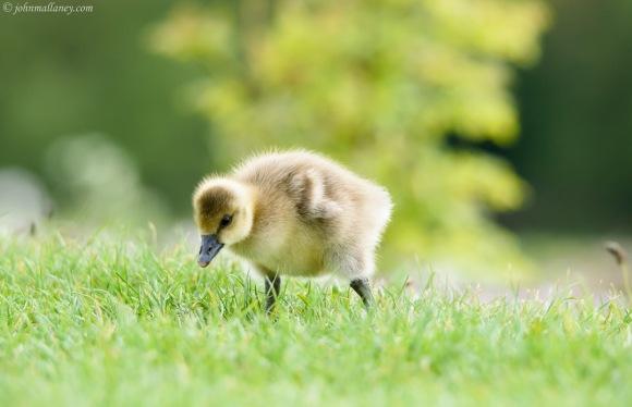 Greylag with gosling