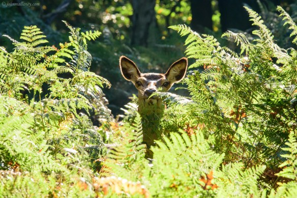 Being watched - Red Deer Hind