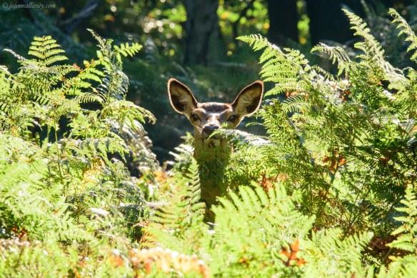 Being watched - Red Deer Hind