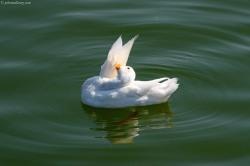 White Mallard Duck
