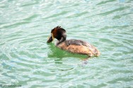 Great Crested Grebe with Catch