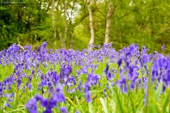 Bluebells - Ashridge Estate