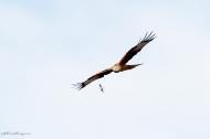 Red Kite in Flight