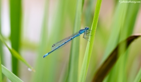 Common Blue Damselfy
