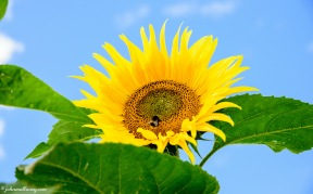 Sunflower - Hitchin Lavender Farm