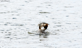Great Crested Grebe with Catch!