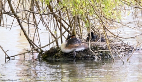 Great Crested Grebes and Chicks