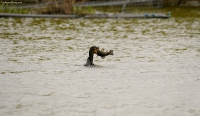 Cormorant vs Tench