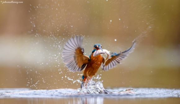 Kingfisher in Action