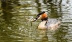 Great Crested Grebe with lunch!