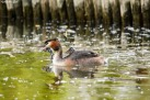 Great Crested Grebe with Chicks (Humbugs)