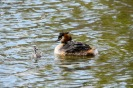 Great Crested Grebe with Chicks AKA Humbugs