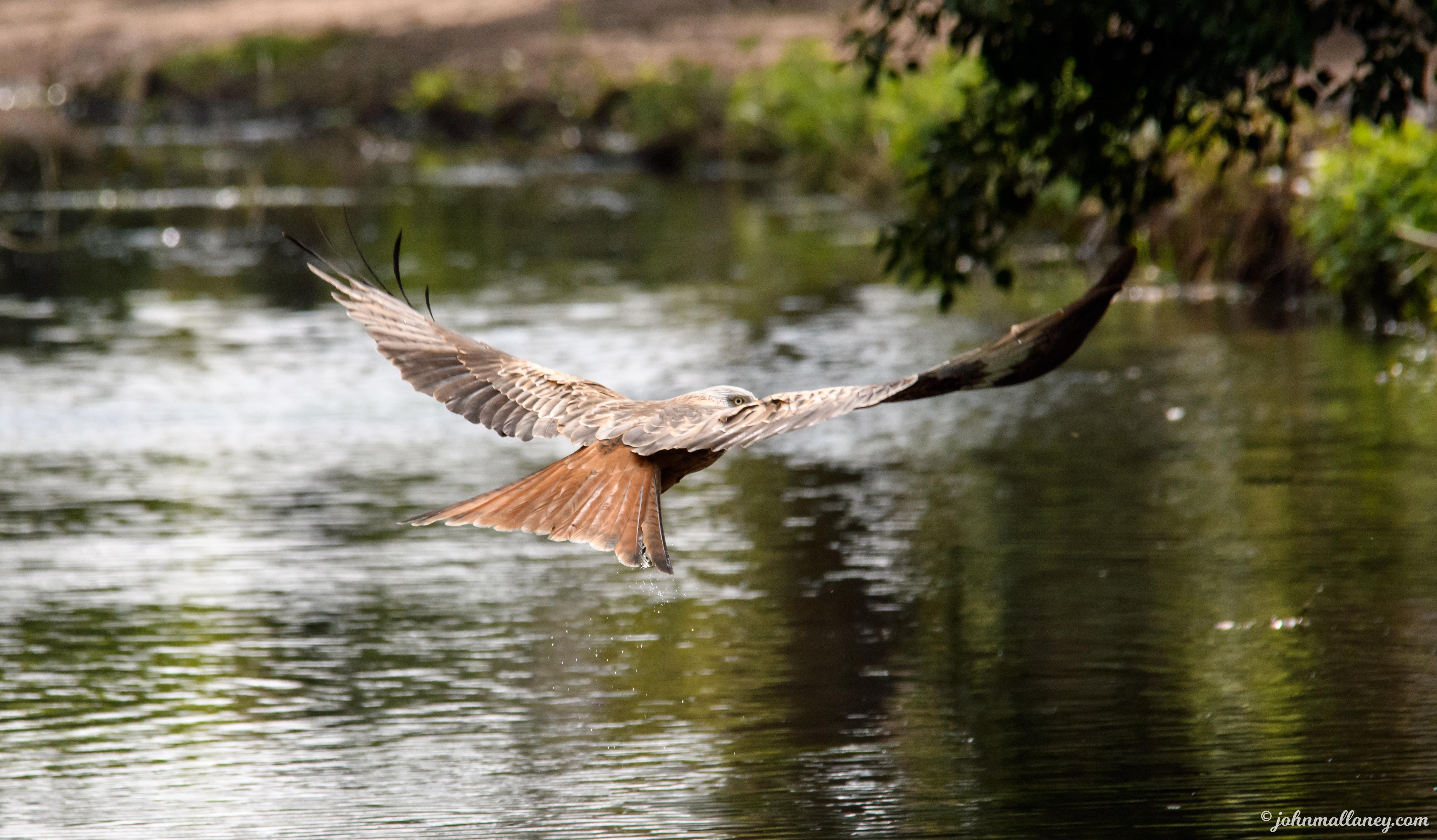 Red Kite in Flight!