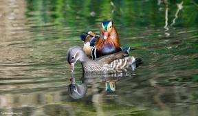 Male and female Mandarin Ducks.